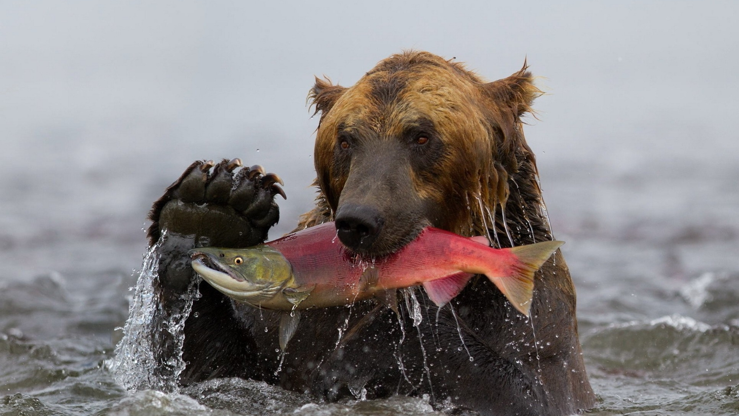 2560x1440 Bear Fish Fishing 1440p Resolution Wallpaper Hd Animals 4k Wallpapers Images Photos And Background