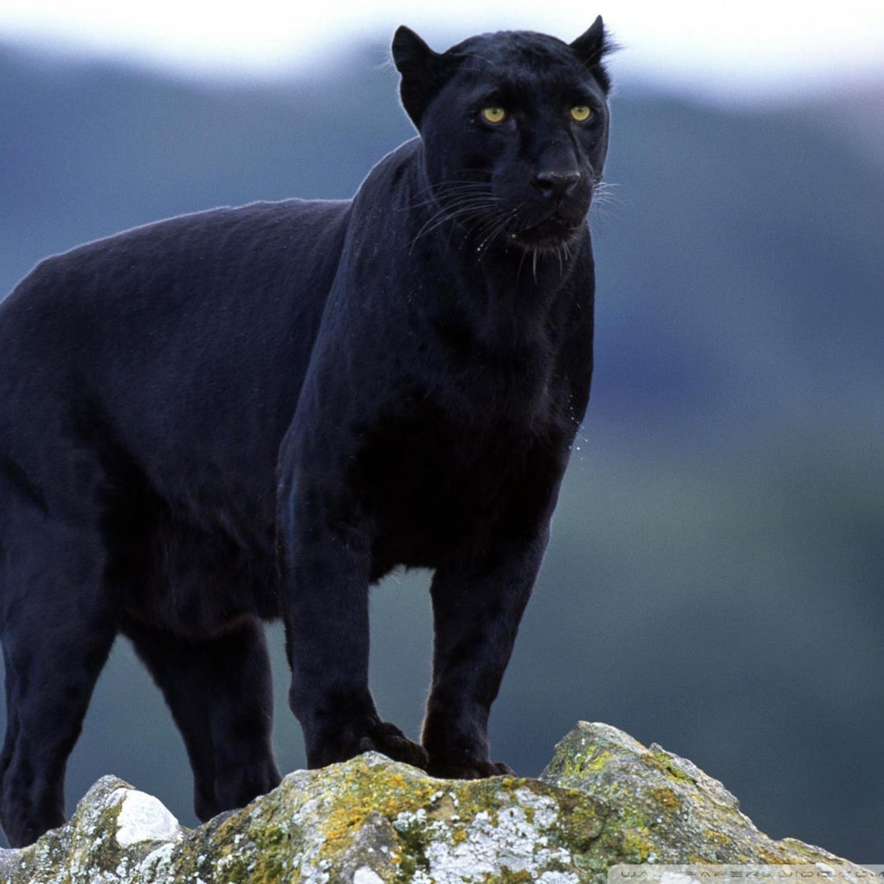 2932x2932 Black Panther India Ipad Pro Retina Display ...