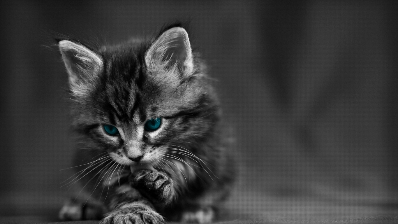 1366x768 cat, black white, blue 1366x768 Resolution ...