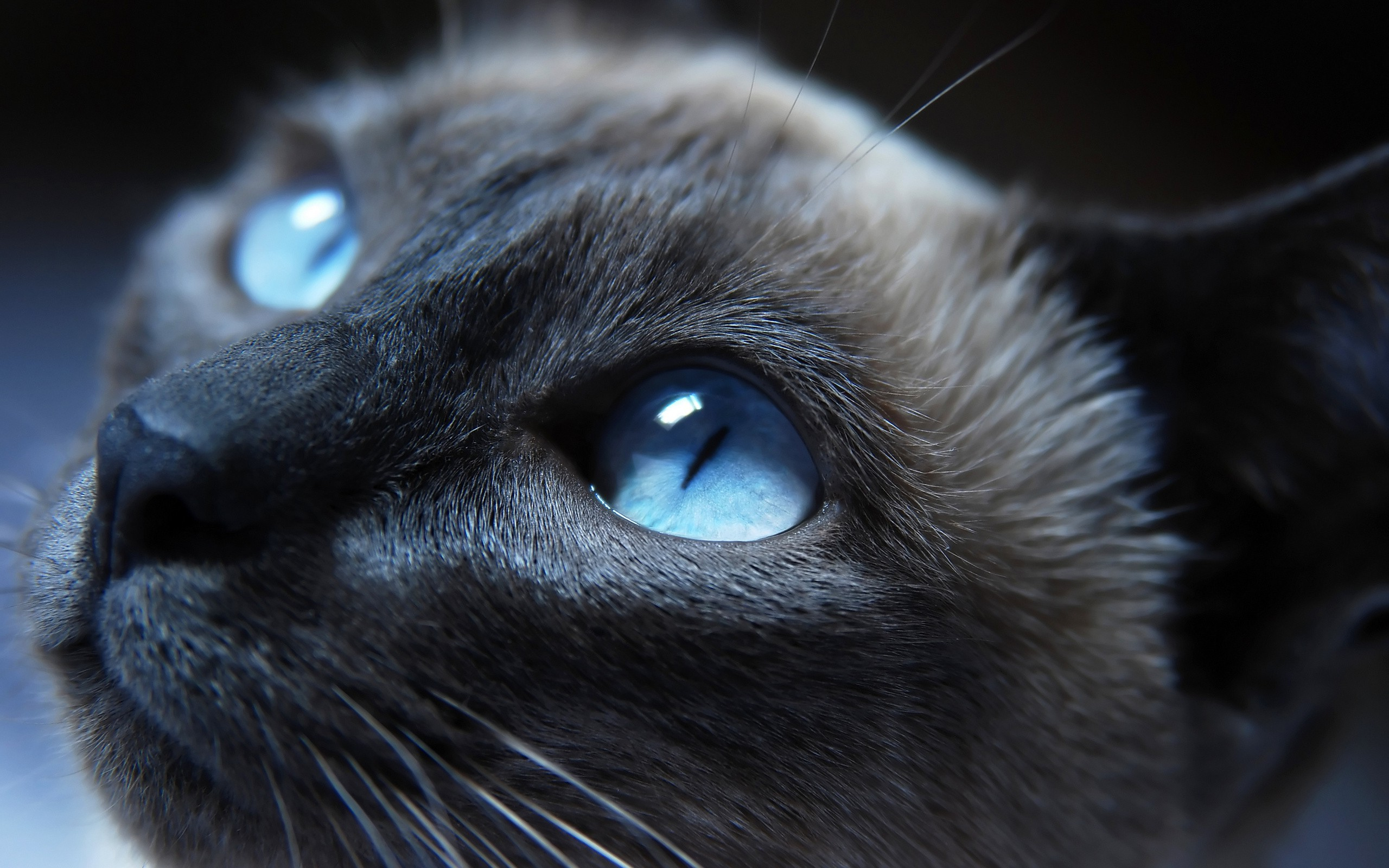 Голубоглазые кота  № 3010634  скачать