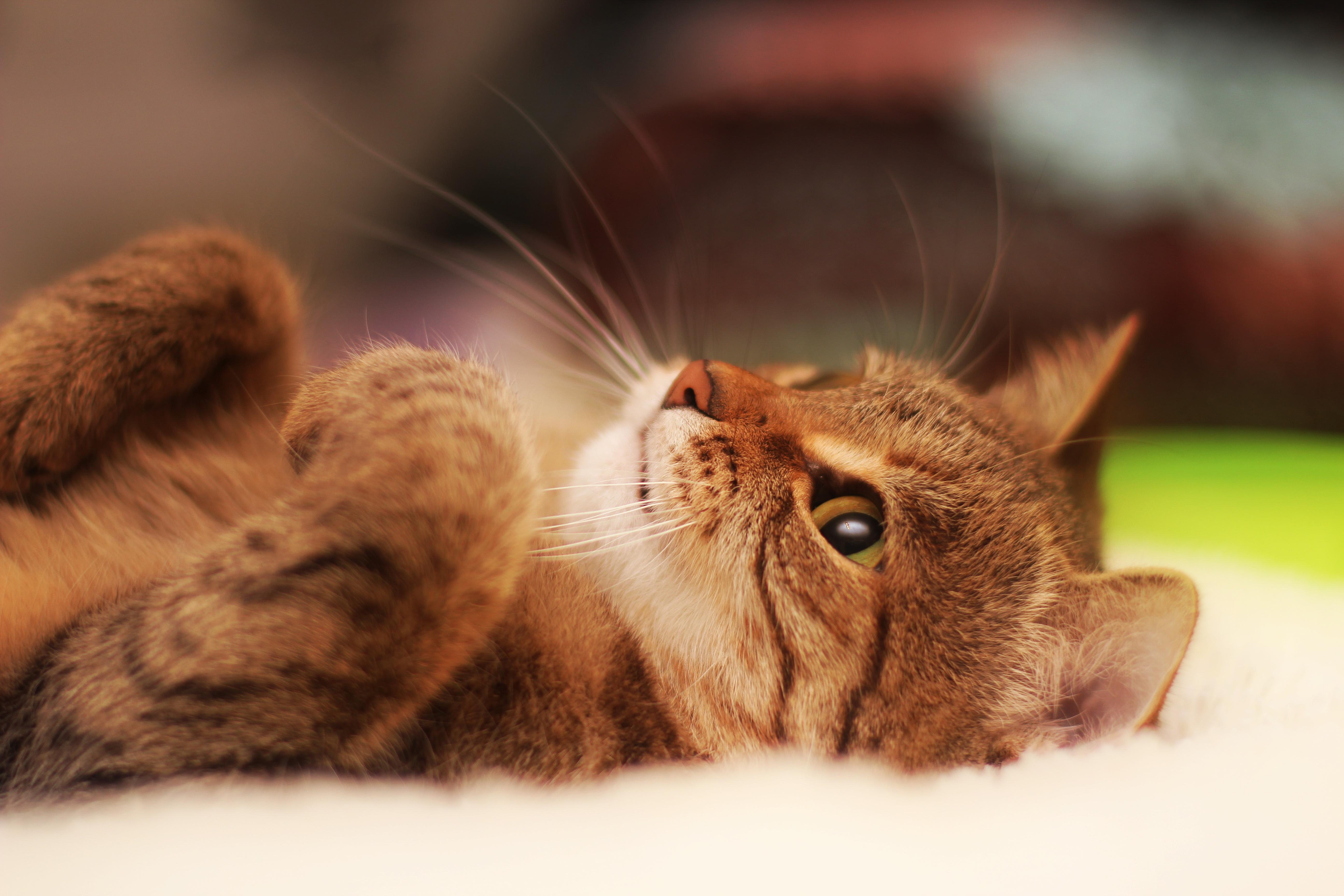 Лежащий кот  № 176197 без смс
