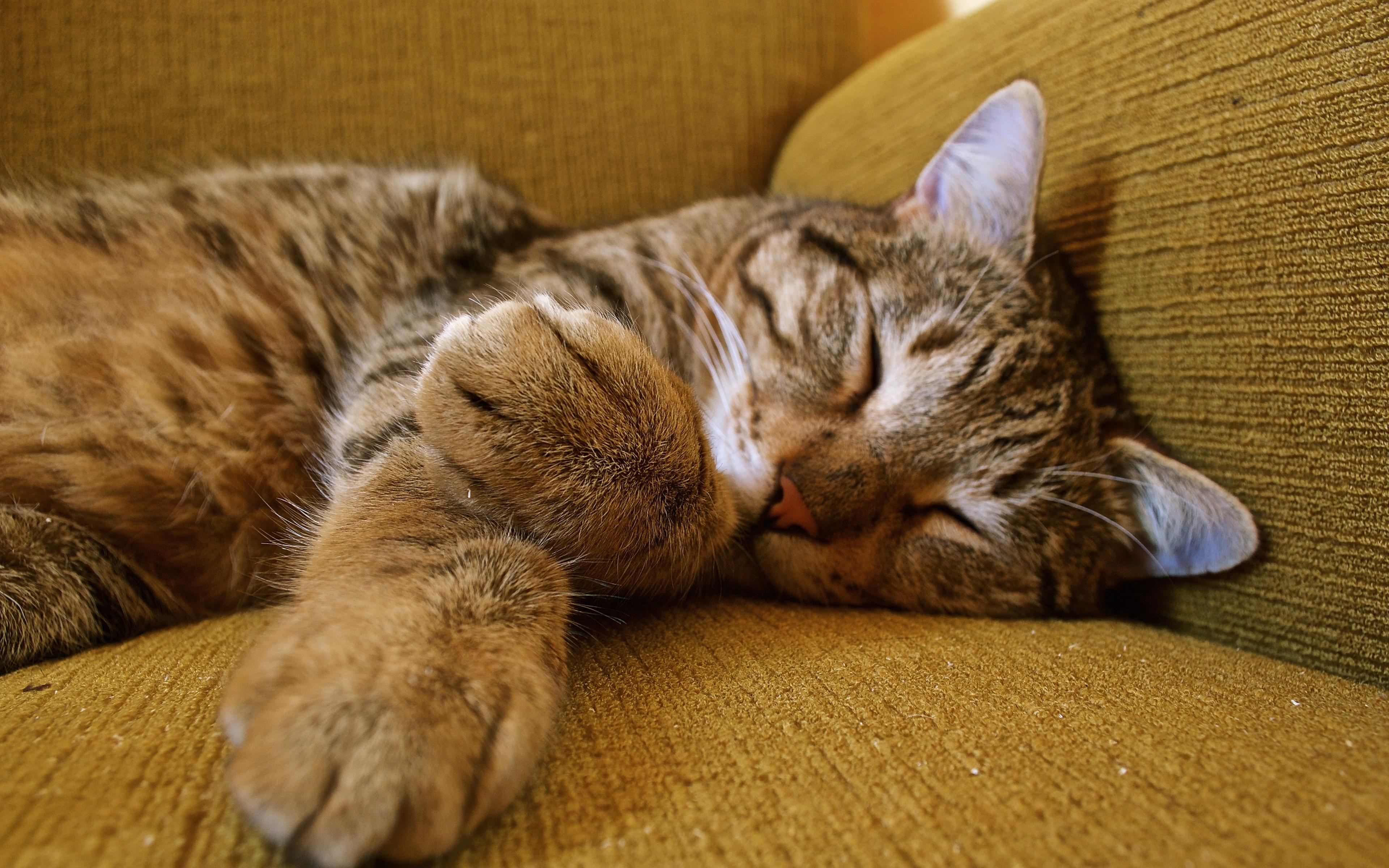 3840x2400 cat, sleeping, tabby UHD 4K 3840x2400 Resolution ...