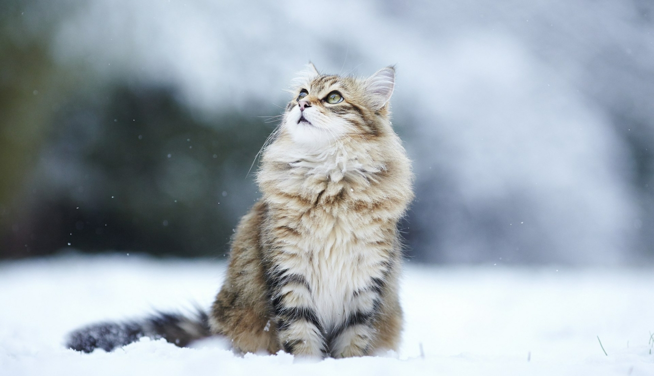 1336x768 Cat Snow Eyes Hd Laptop Wallpaper Hd Animals 4k Wallpapers Images Photos And Background