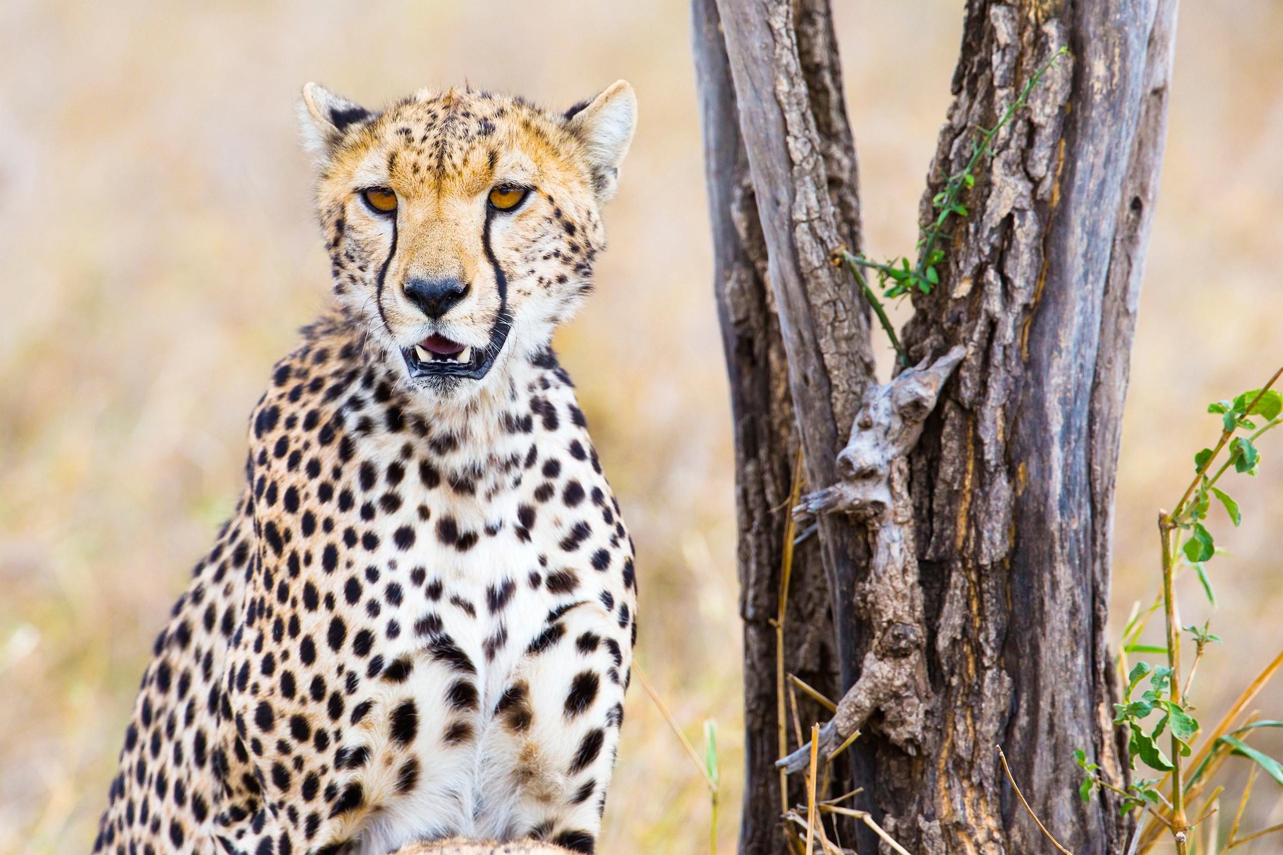 Cheetah Full HD 2K Wallpaper