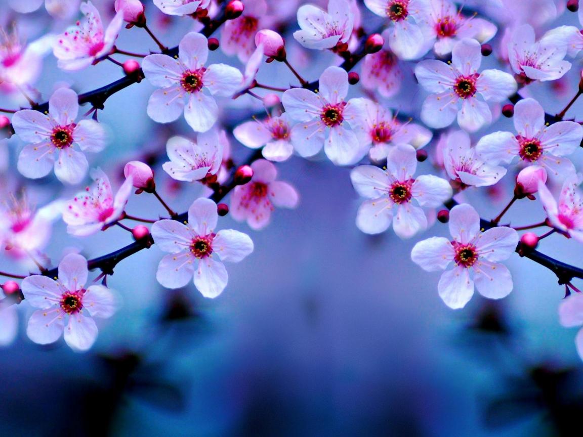 Cherry Blossom Hd 4k Wallpaper
