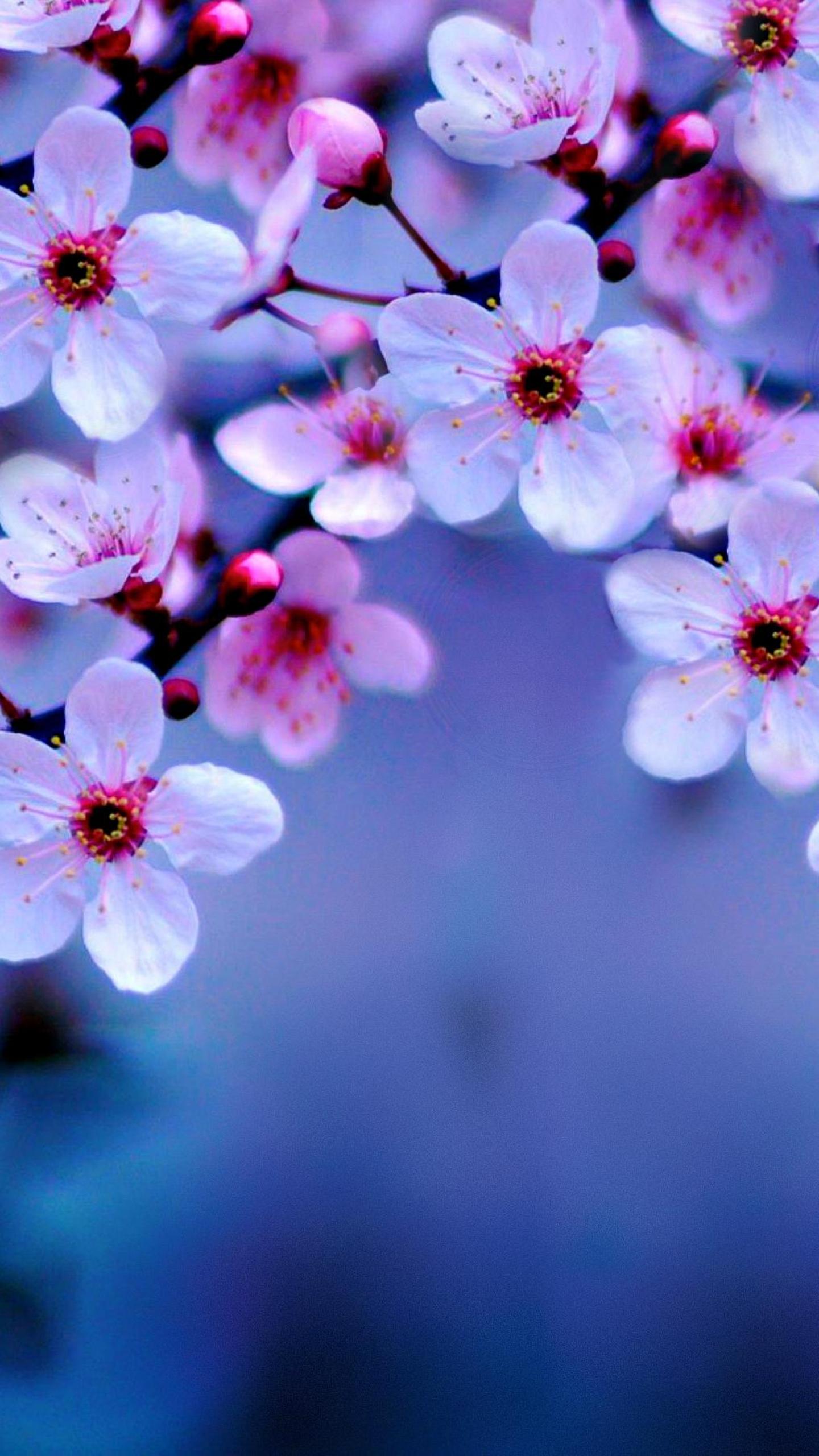 download cherry blossom 1440x2560 resolution hd 4k wallpaper. Black Bedroom Furniture Sets. Home Design Ideas