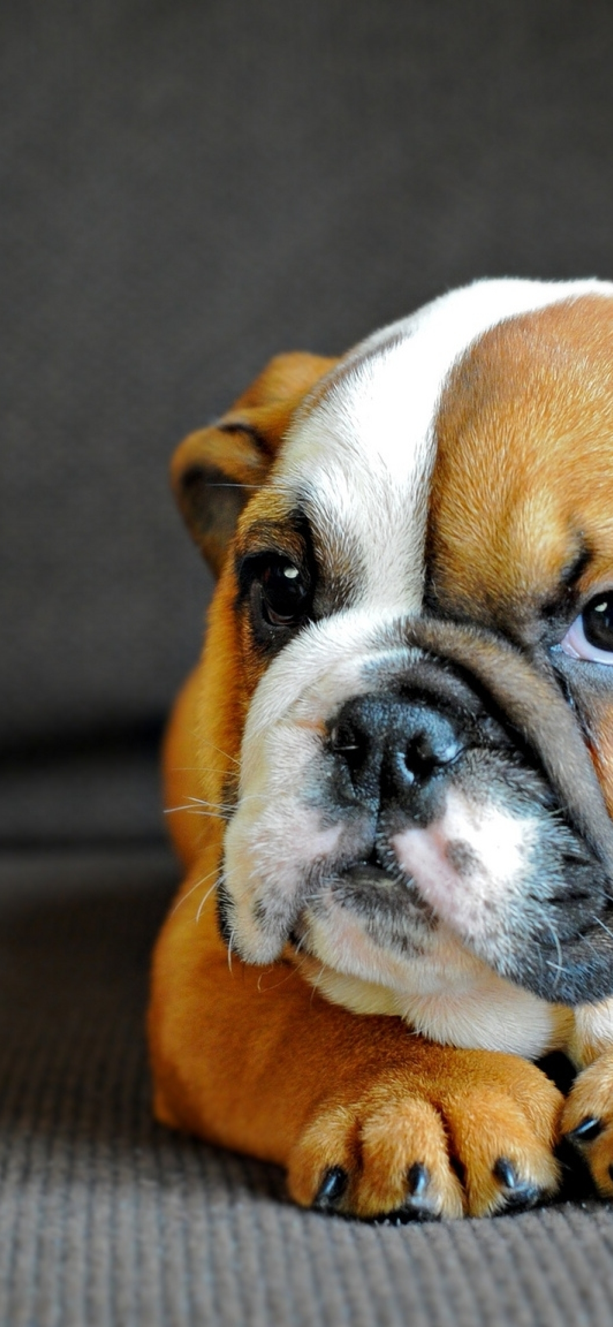 1242x2688 English Bulldog Puppy Dog Iphone Xs Max Wallpaper Hd Animals 4k Wallpapers Images Photos And Background