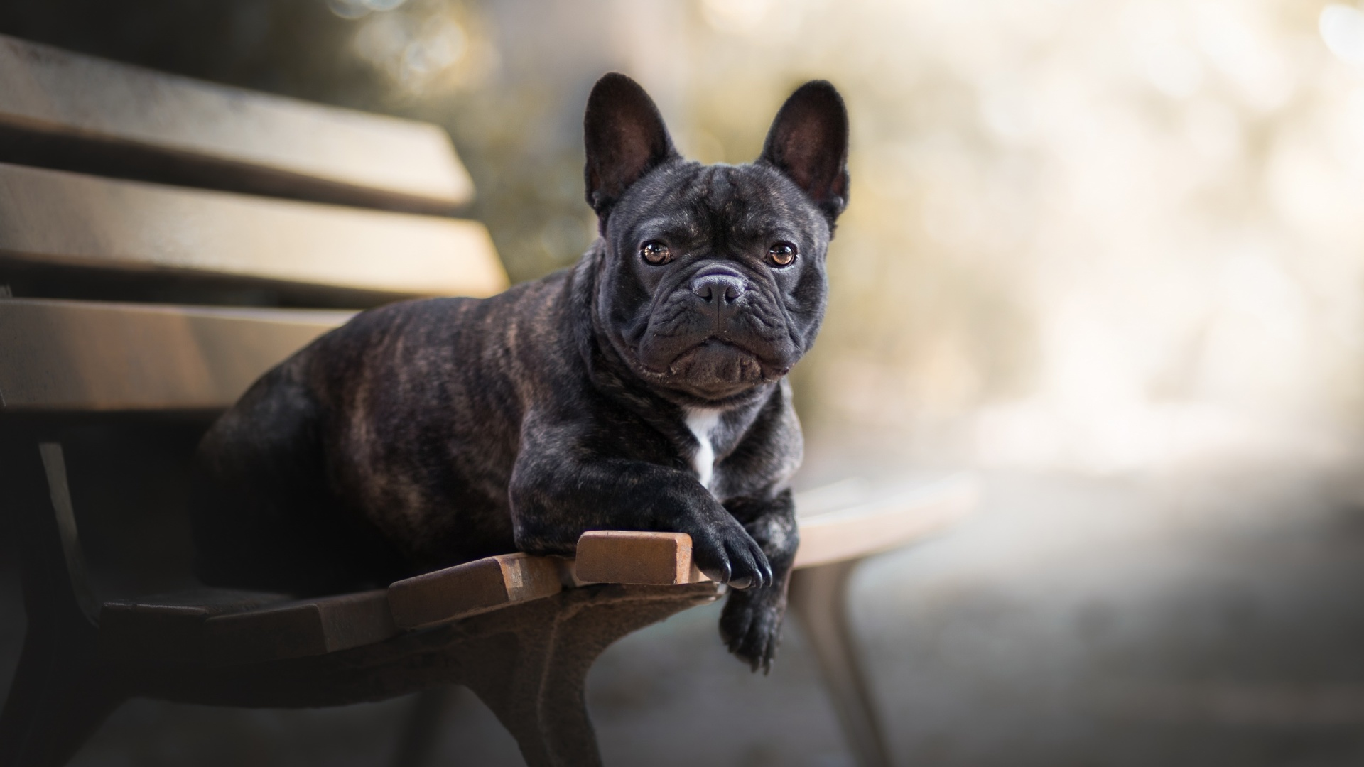 8k Animal Wallpaper Download: French Bulldog, Full HD 2K Wallpaper
