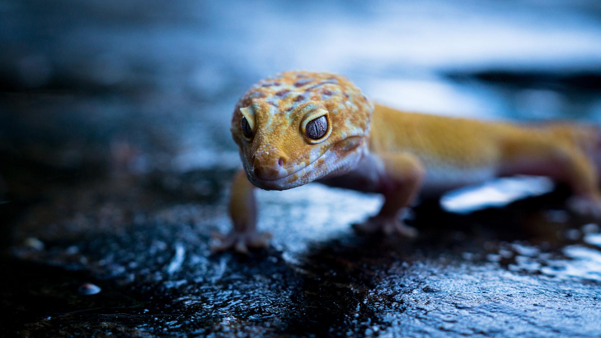 Gecko Portrait Full Hd 2k Wallpaper