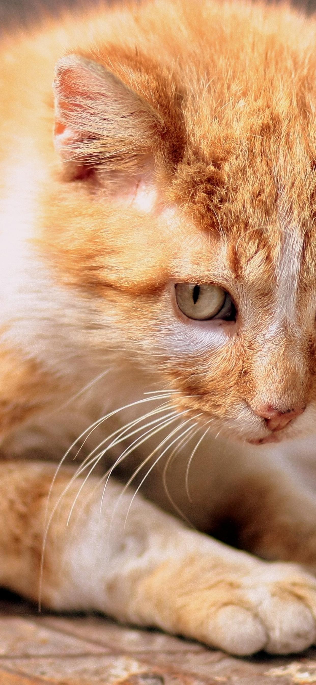 1242x2688 Ginger Cat Kitten Eyes Iphone Xs Max Wallpaper