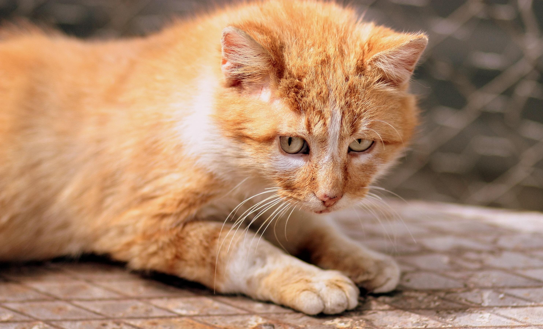 Ginger Cat Kitten Eyes Wallpaper Hd Animals 4k Wallpapers