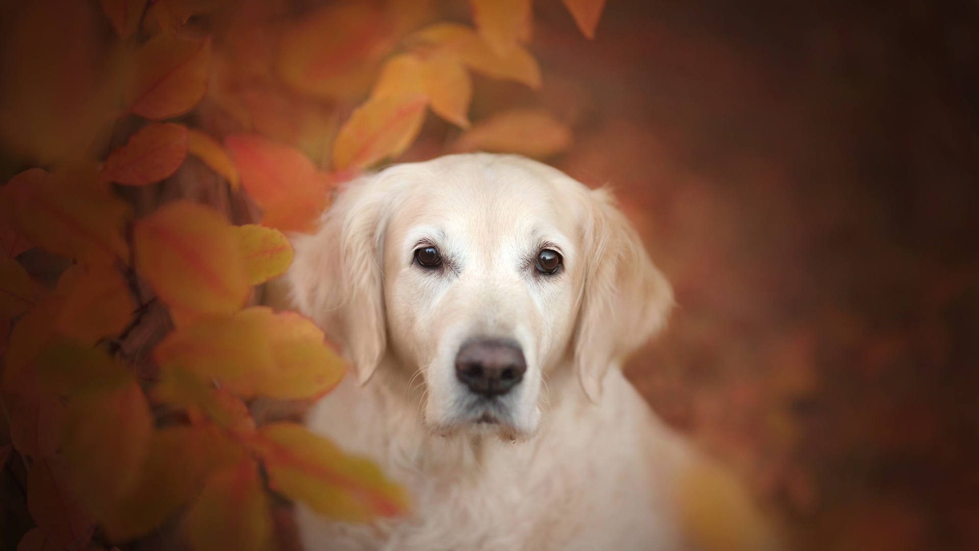 1920x1080 Golden Retriever Dog 1080p Laptop Full Hd Wallpaper Hd Animals 4k Wallpapers Images Photos And Background