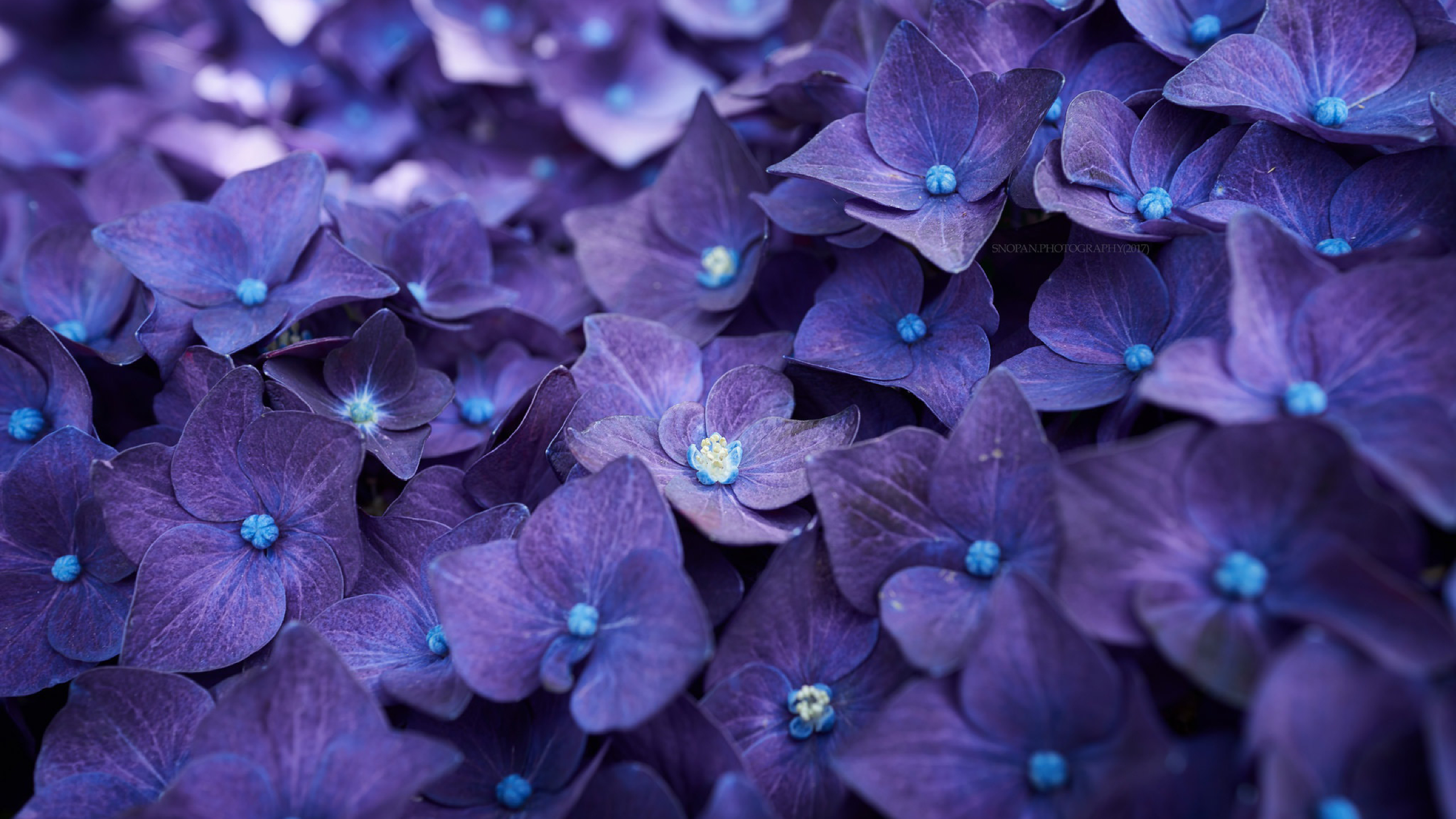 2560x1440 Hydrangea Violet Flowers 1440p Resolution Wallpaper Hd Flowers 4k Wallpapers Images Photos And Background