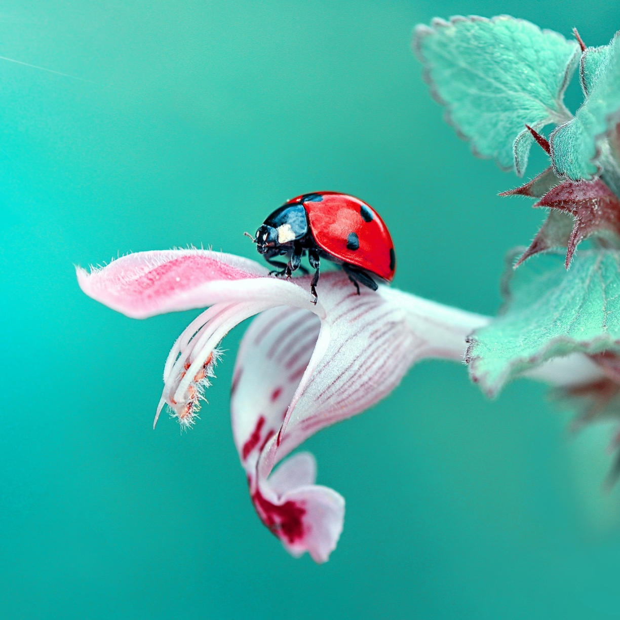 Insect Ladybug Macro, Full HD 2K Wallpaper