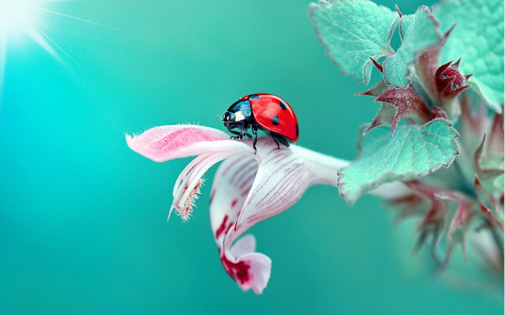 8k Animal Wallpaper Download: Insect Ladybug Macro, Full HD 2K Wallpaper
