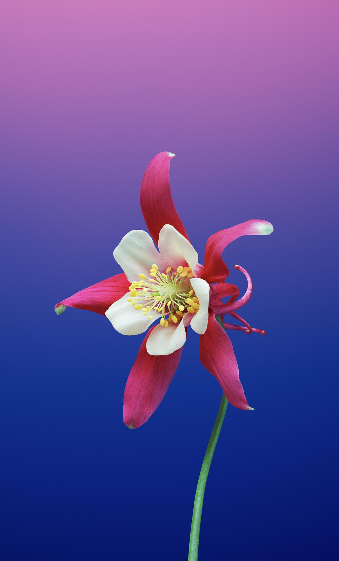 Ios 11 Flower Aquilegia, Full HD 2K Wallpaper