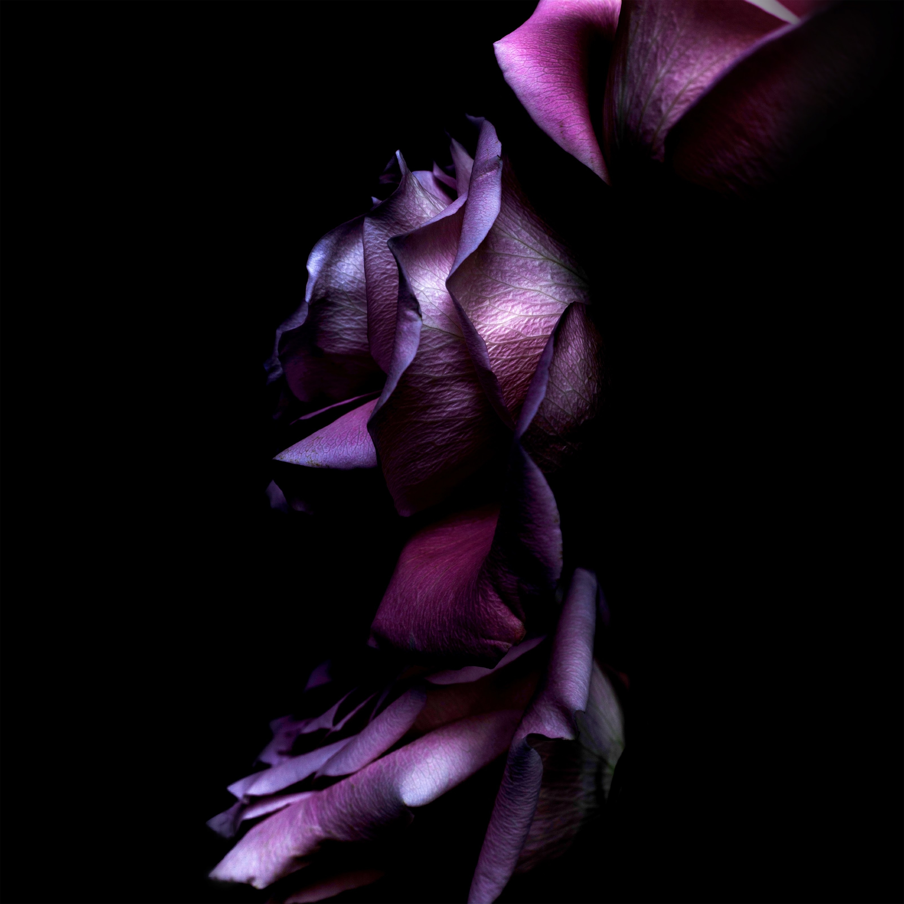 2932x2932 iOS 11 Purple Rose Ipad Pro Retina Display