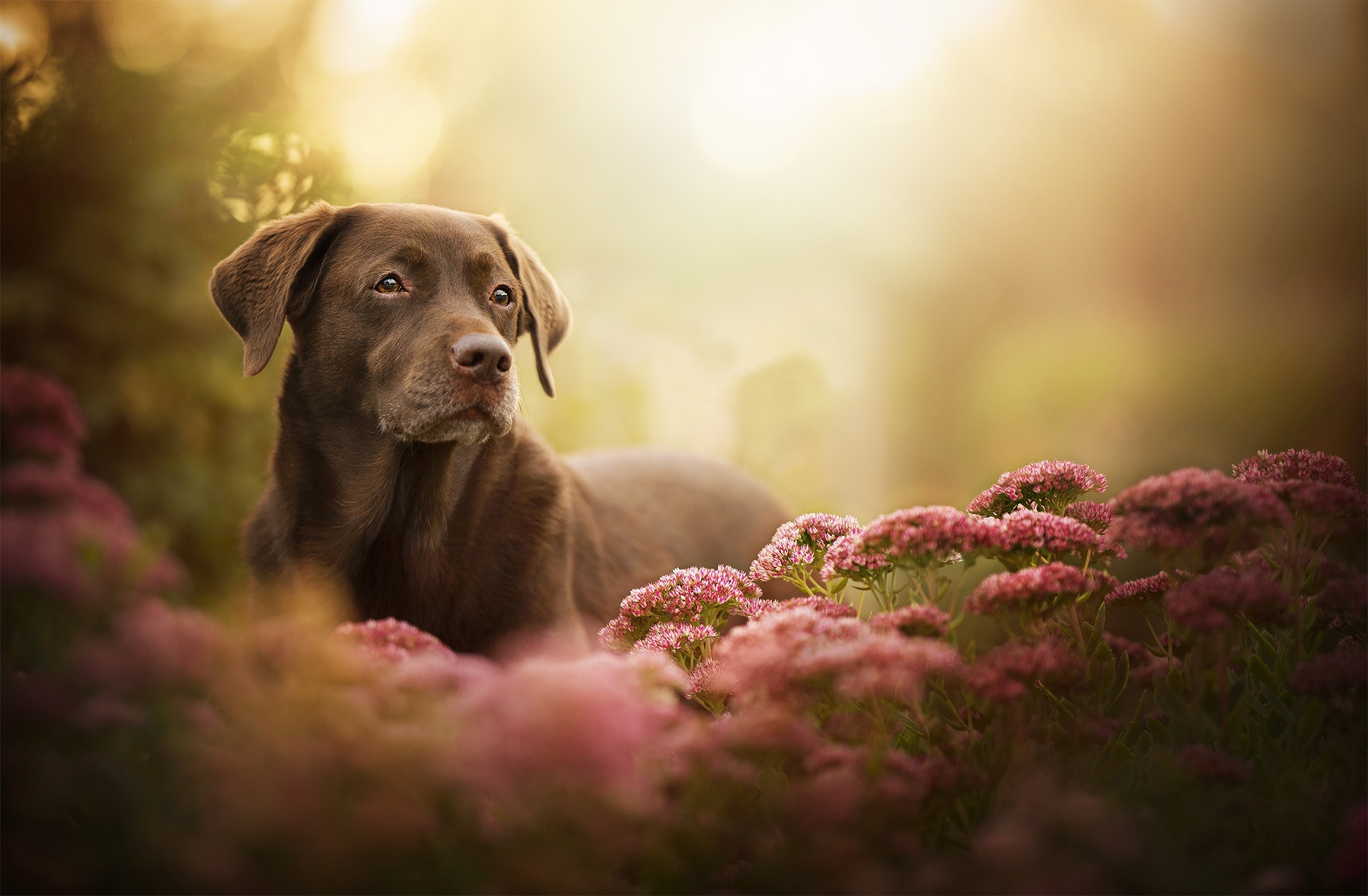 Best Food For Puppies >> Labrador Retriever Dog, Full HD 2K Wallpaper