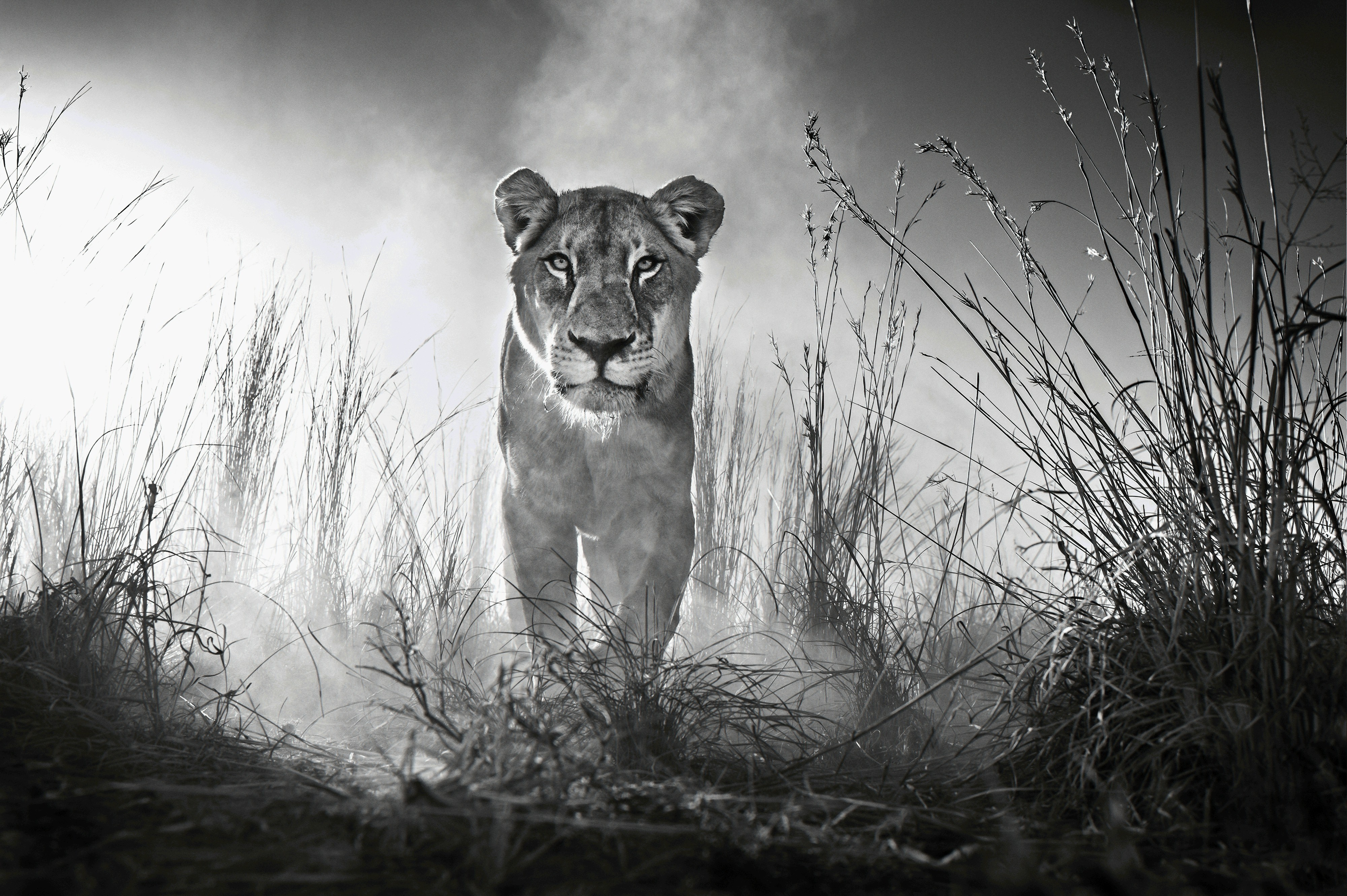 3840x2160 Lion Black And White 4k Wallpaper Hd Animals 4k Wallpapers Images Photos And Background