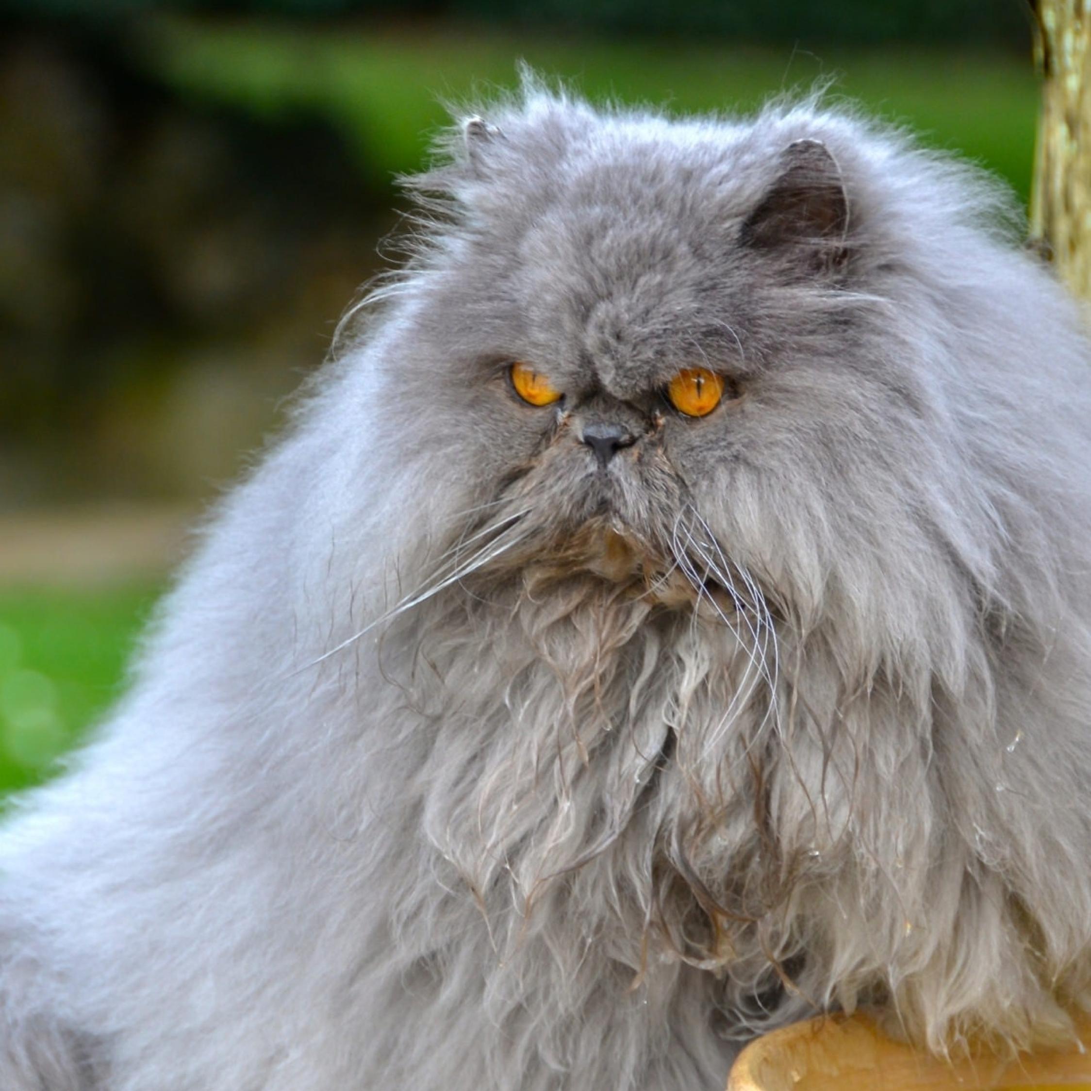 Persian Cat Cat Furry Full HD 2K Wallpaper