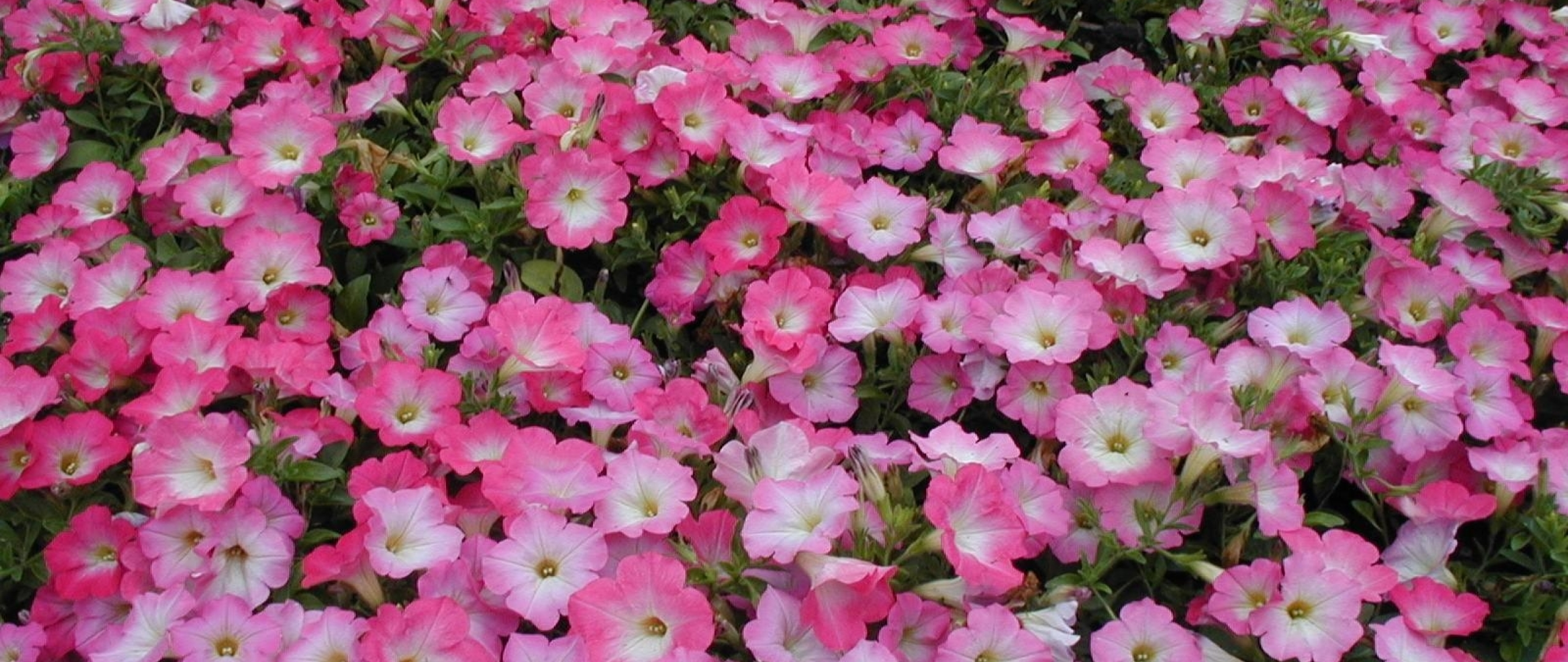 2560x1080 Petunia Flowers Flowerbed 2560x1080 Resolution Wallpaper Hd Flowers 4k Wallpapers Images Photos And Background