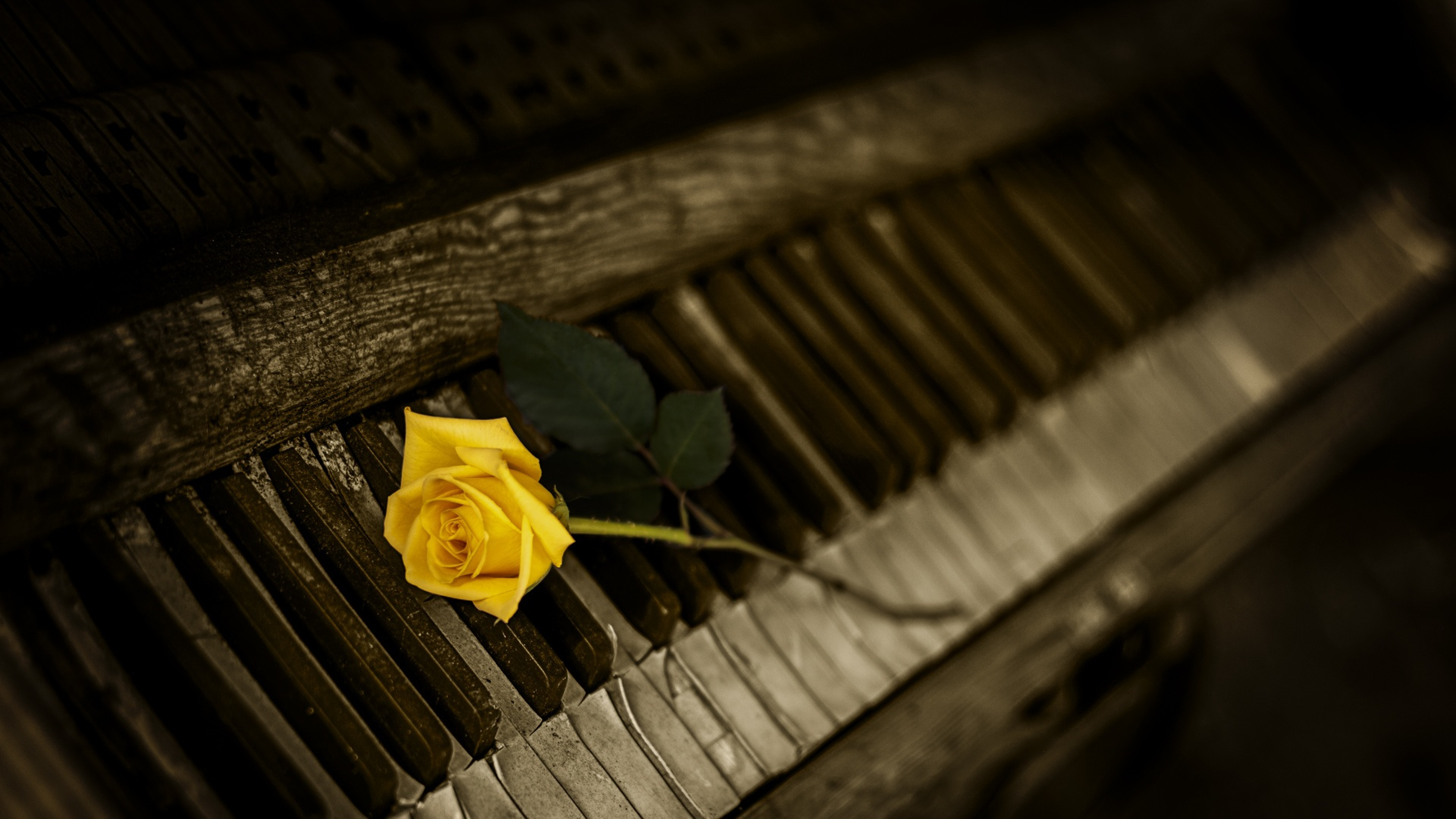 3840x2160 Piano Rose Keys 4k Wallpaper Hd Flowers 4k Wallpapers Images Photos And Background