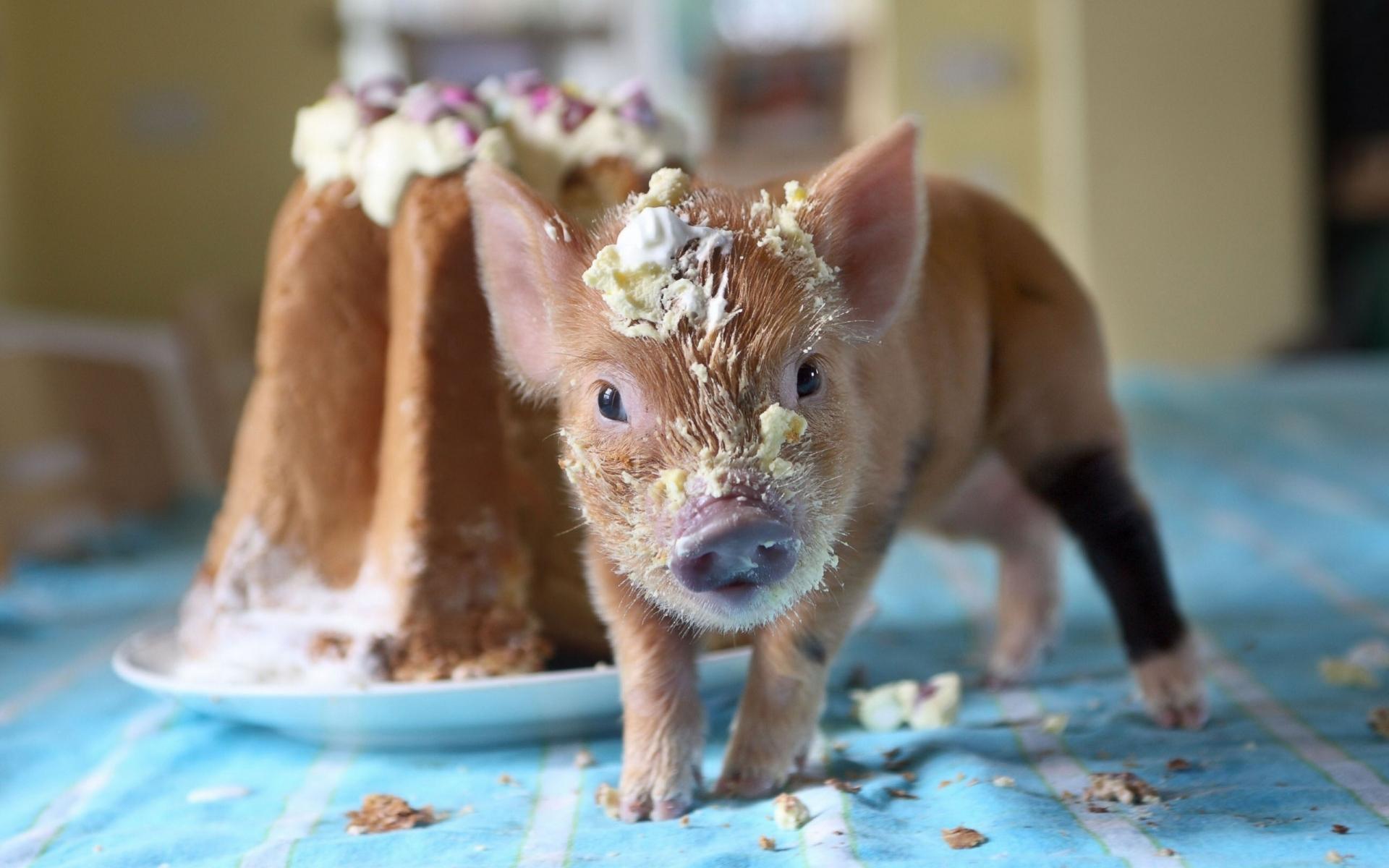 pig, cake, soiled Wallpaper in 1920x1200 Resolution