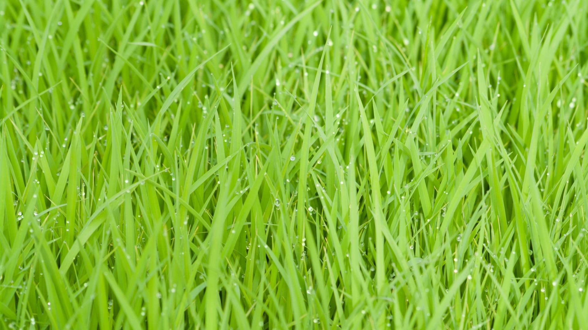 1920x1080 Rice Fields Green Grass 1080p Laptop Full Hd Wallpaper