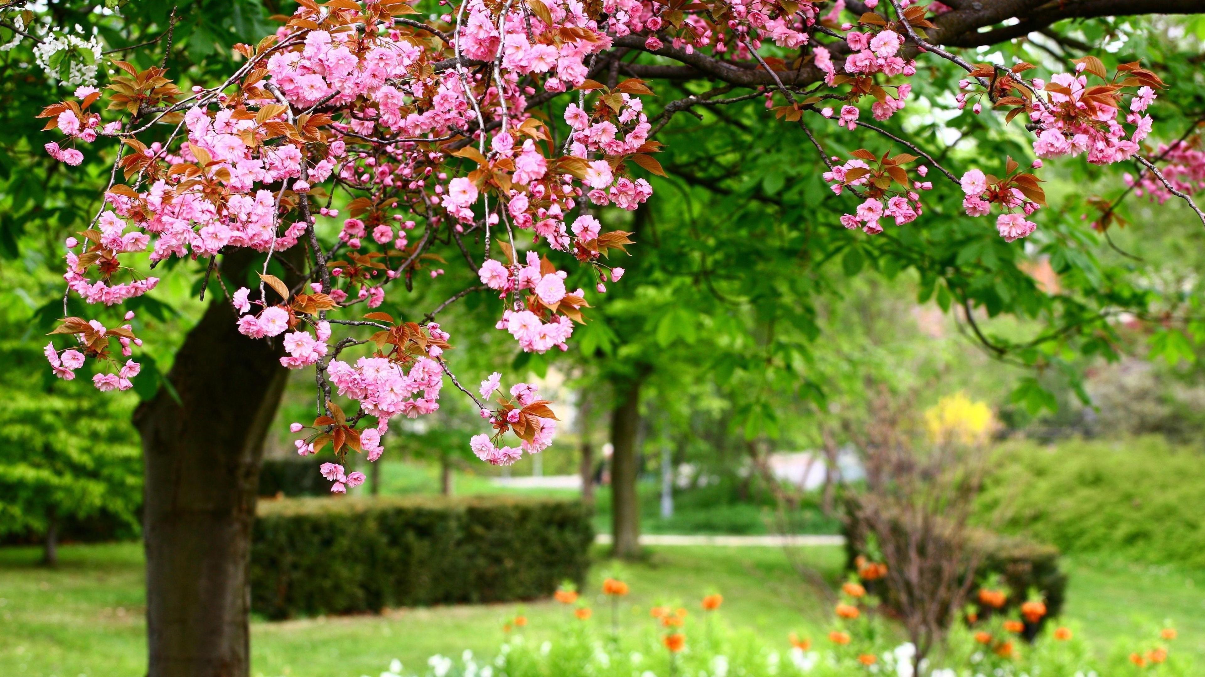 3840x2160 Sakura Bloom Spring 4k Wallpaper Hd Flowers 4k