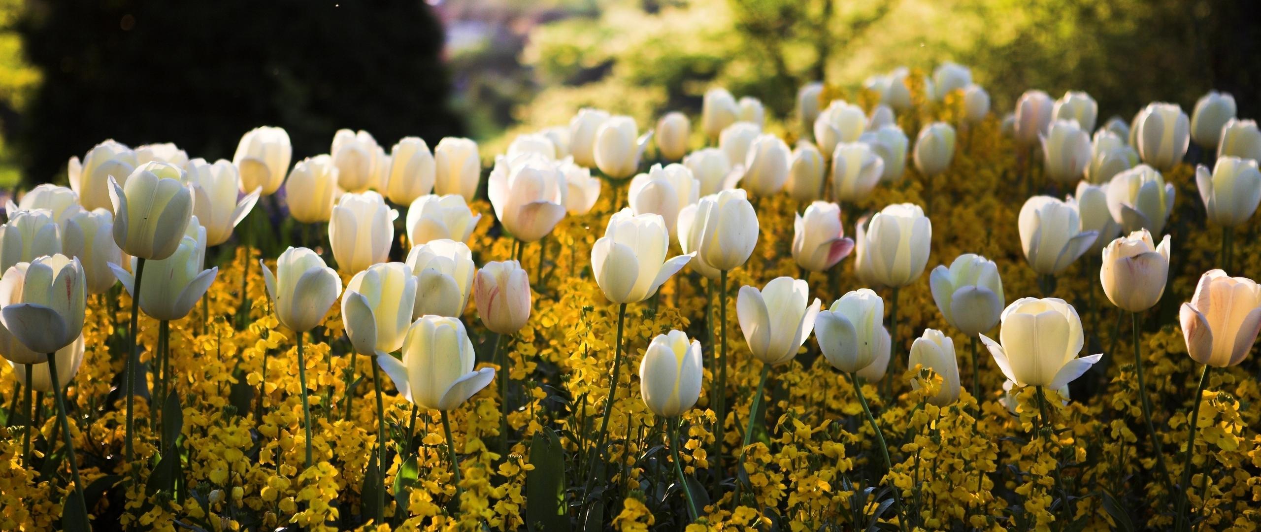 Tulips Flowers Meadow Full Hd 2k Wallpaper