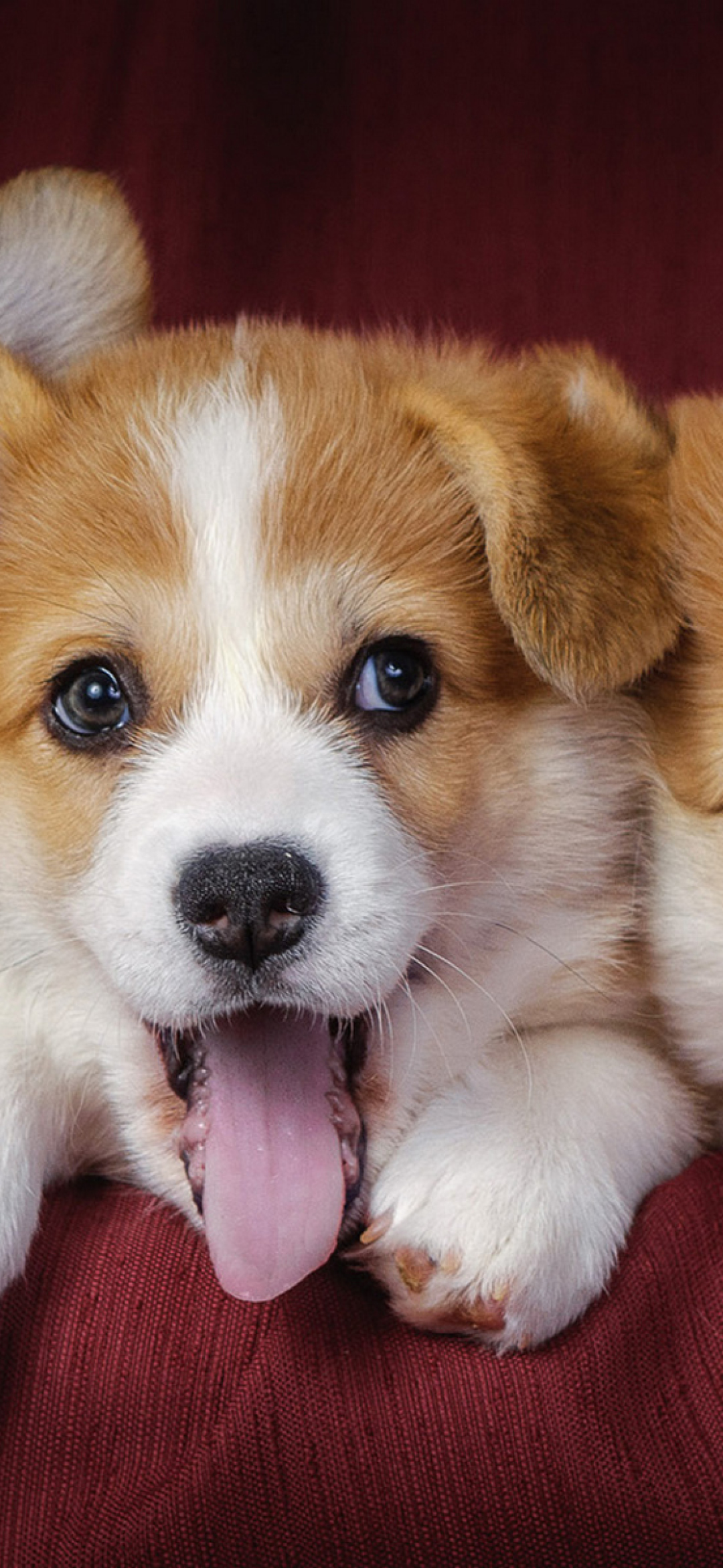 1080x2340 Welsh Corgi Puppies Dogs 1080x2340 Resolution Wallpaper Hd Animals 4k Wallpapers Images Photos And Background