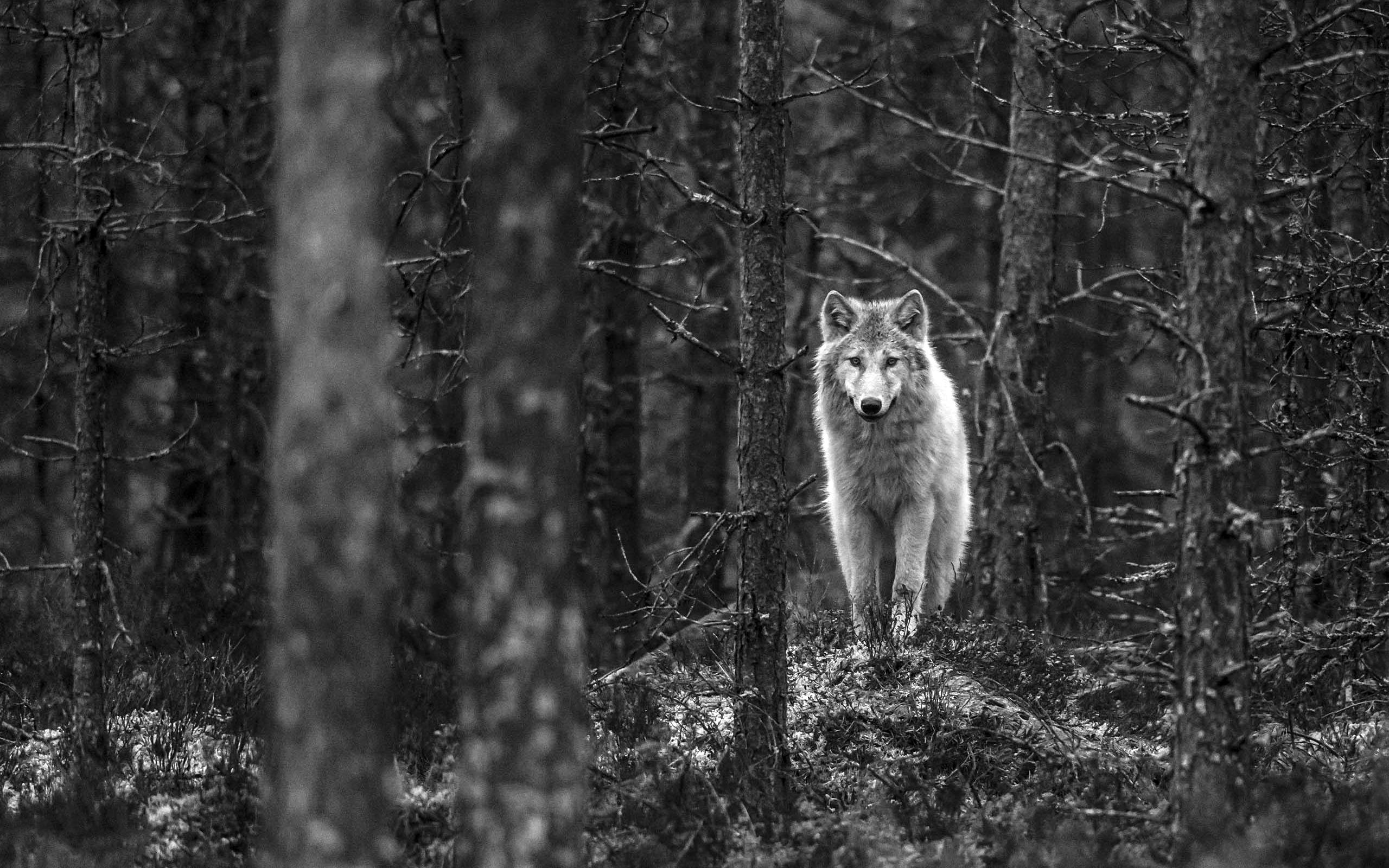 2560x1440 Wolf Walking In Jungle Monochrome 1440p Resolution Wallpaper Hd Animals 4k Wallpapers Images Photos And Background
