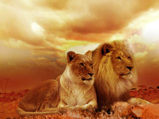 African Lion And Lioness wallpaper