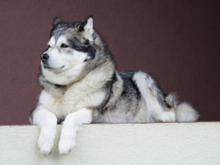 alaskan malamute, malamute, dog wallpaper