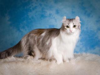 american curl, cat, fluffy wallpaper