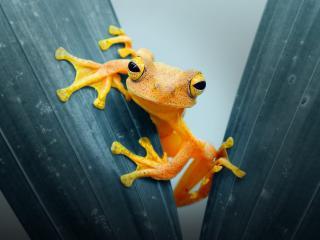 Amphibian HD Frog wallpaper