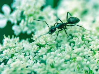 ant, insect, flowers wallpaper
