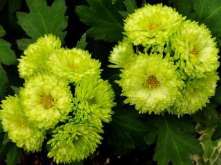 asters, light green, flower wallpaper