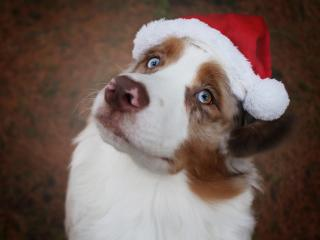 Australian Shepherd Dog with Santa Hat wallpaper