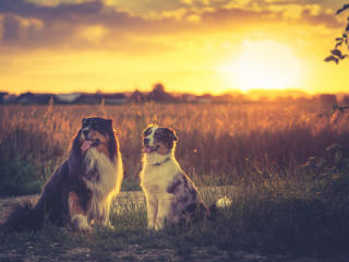 Australian Shepherds wallpaper