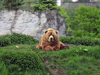 bear, brown, grass wallpaper
