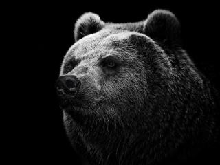 bear, grizzly bear, eyes wallpaper