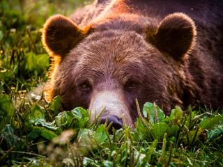 bear, grizzly, look wallpaper