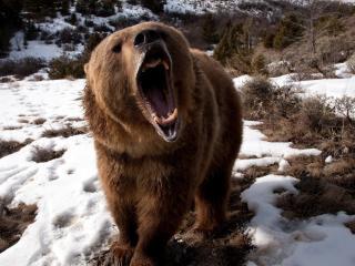 bear, teeth, angry wallpaper