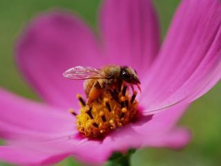 bee, flower, pollination wallpaper