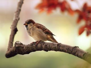 bird, sparrow, branch wallpaper