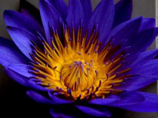 blue lotus, star lotus, water lily star wallpaper