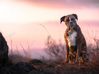 Boxer Dog wallpaper