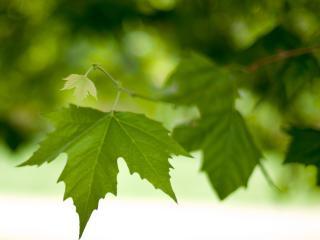 branch, leaves, spring wallpaper