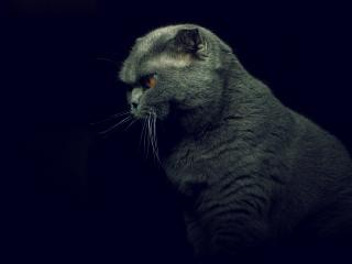 British Shorthair Cat wallpaper